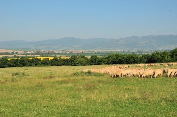 pastorala
